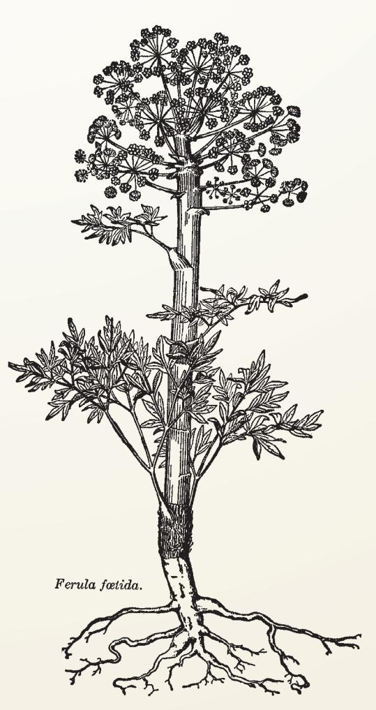 Dyvelsdrek, Ferula assafoetida, er en plante med sterk ubehagelig lukt. Navnet betyr djevelmøkk. Den var mye brukt som medisin mot epidemier. Den skulle også beskytte husdyrene mot sykdommer, onde krefter og ville dyr.